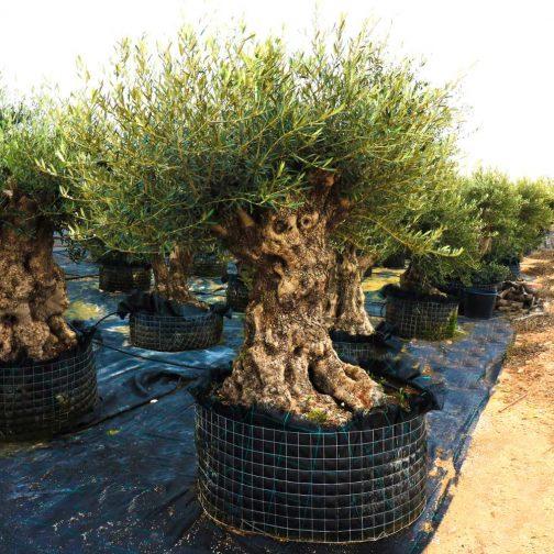 olea europaea bonsai mesh