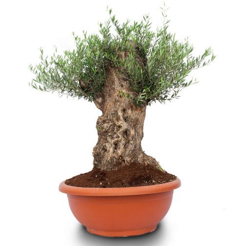 olea europaea bonsai bowl