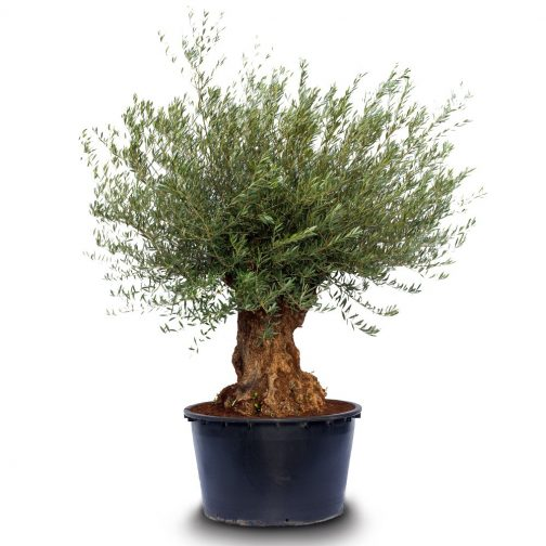 olea europaea bonsai pot
