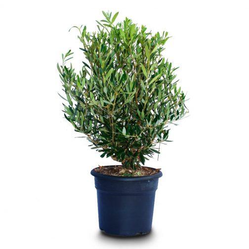 olea bush pot