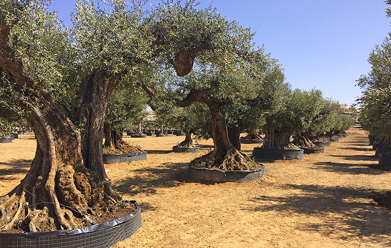 11 Amazing And Interesting Facts About Olive Trees Did You Know