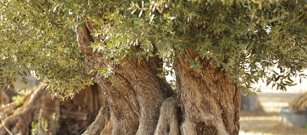 Ganz und zu Extrem 11 erstaunliche und interessante Fakten über Olivenbäume: Wussten @DJ_04