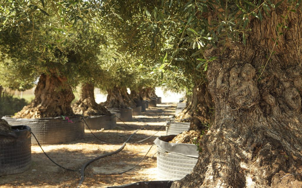 100 Year Old Olive Tree What Is The Price Finca Hermosa