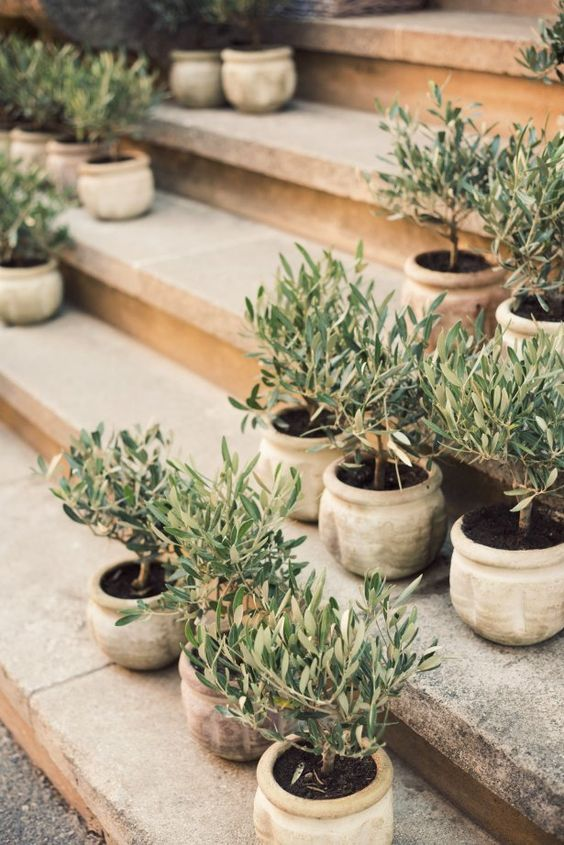 Inspiration 1 Olive Trees At Home