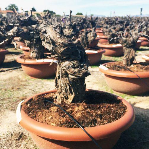 Oude oflijfboom Jemen