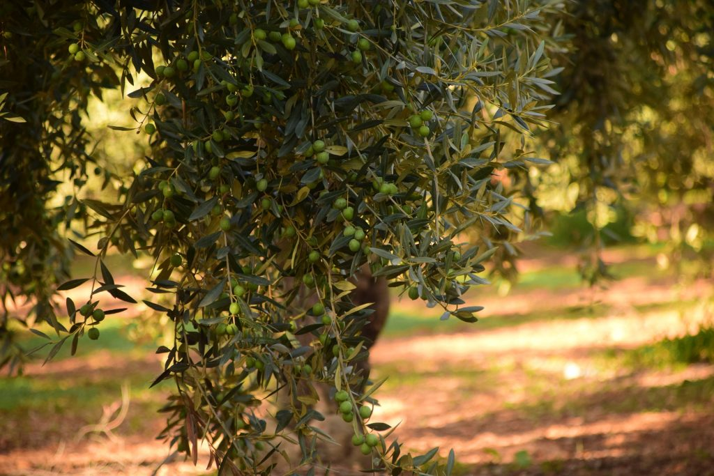 Ancient and Old Olive Trees for Sale: Prices & Information