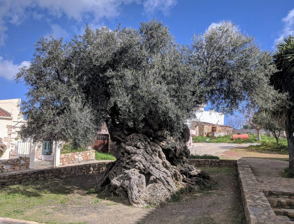 Oldest Olive Trees In The World From Greece To Israel 5 000
