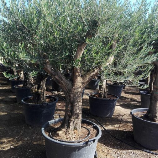 onderhoud olijfboom
