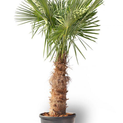 palmboom kopen voor buiten