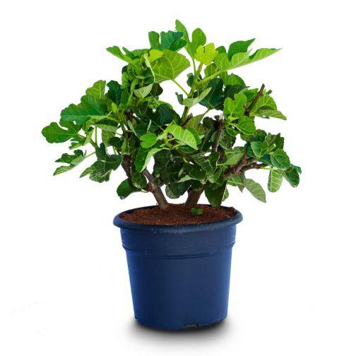 ficus carica bush