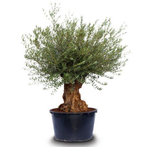 olea europaea bonsai pot